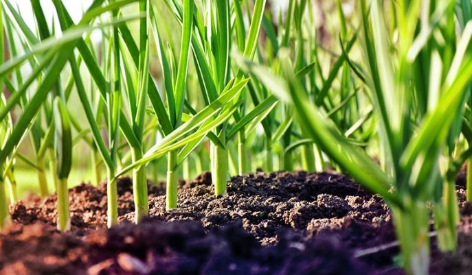 2-Spring-Garlic.jpg